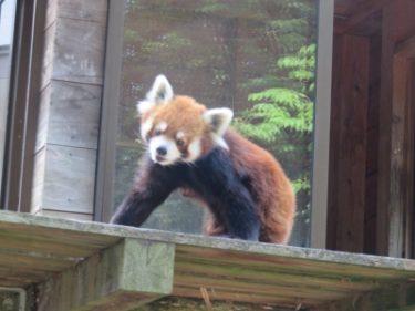 レッサーパンダの風太くん・キョロキョロが可愛いショウガラゴ他@千葉市動物公園