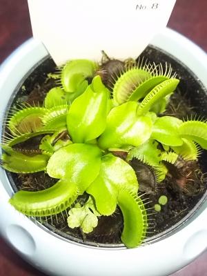 【捕食動作をスーパースローで撮影】食虫植物『ハエトリソウ』