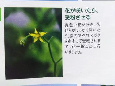 『カンタン! 水耕栽培キット』にチャレンジ!ミニトマト編その5(受粉)