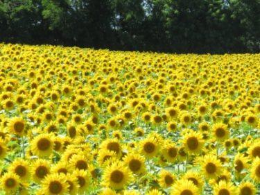 【日本一のひまわり畑】北海道北竜町 ひまわりの里 見頃の風景(2016年8月5日訪問)